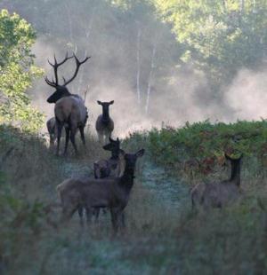 Wisconsin's Elk Herd, Ashland County