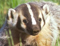 cute badger